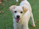 Ronnie is a 6-year-old poodle who has been described by a staff member as a bundle of love.He walks nicely on leash and is good with other dogs. Ronnie loves to playor have a cuddle. The shelter staff does not know if he has been with children or cats before. Ronnie isneutered and smart. You can meet Ronnie at the Humane Society of Ventura County in Ojai.His discounted adoption fee of $75 includes vaccinations, free veterinarian check, microchip implantation and a loving new family member.For more information on Ronnie or other available animalsor to volunteer, call 805-646-6505 or visitwww.hsvc.org. The shelter is at 402 Bryant St.,Ojai.Hours are 10 a.m. to 6 p.m. Monday throughSaturday.
