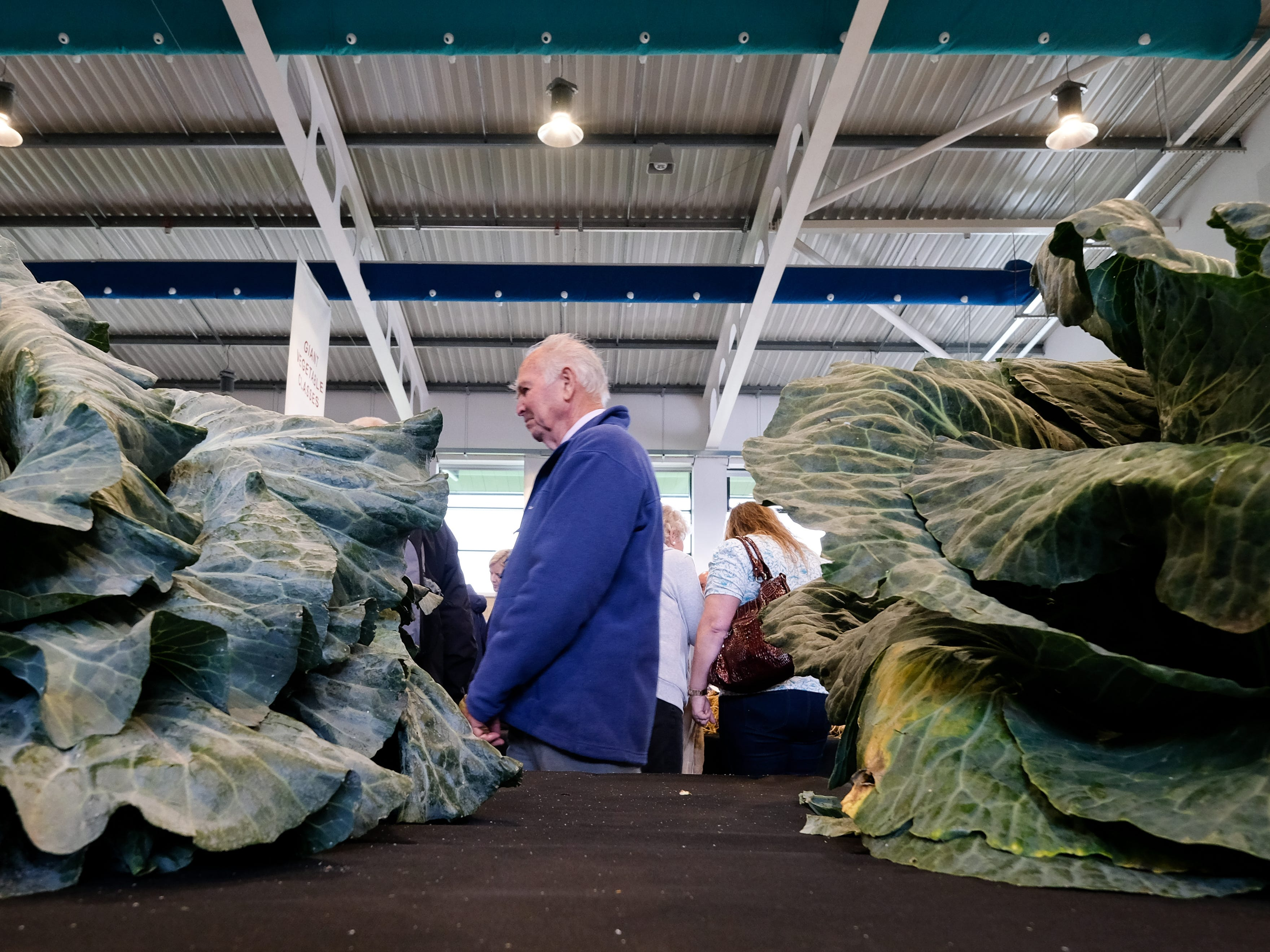 Giant cabbages in the giant vegetable competition.
