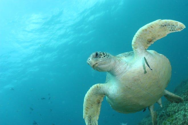 A healthy green sea turtle shown off North Stradbroke Island in Australia.