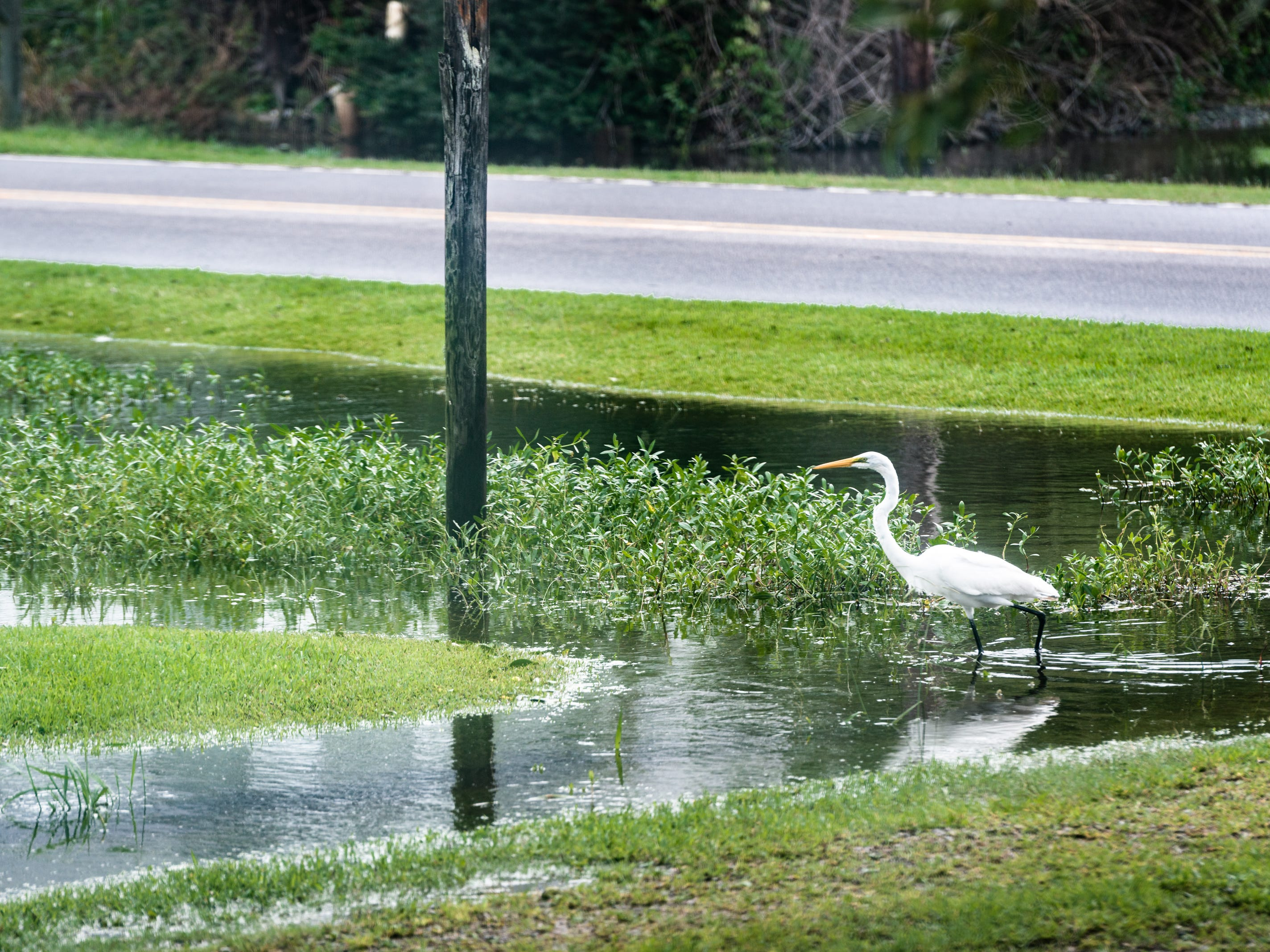 An egret walks through a large flooded area in the front yard of a home on Main Street in Swan Quarter, N.C Sept. 15, 2018 after Hurricane Florence made landfall Friday morning.