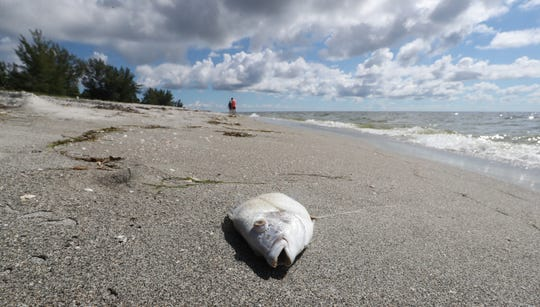 A few fish can still be found washed up on the very quiet shores of Captiva. Toxic algae and red tide have darkened the summer of 2018 for many who rely on tourism to make their living, but some are working to bring a brighter shade of green to areaÕs the hard-hit workers and businesses. Saturday, some of the famous dollar bills that line the Captiva CafŽÕs walls were pulled off for island workers in need. And throughout the weekend, residents responded to a social media campaign: Help Bring the Green Back to Sanibel & Captiva by spending their money at local establishments.