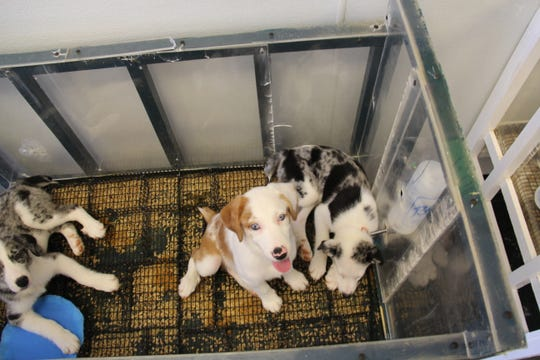 Dogs play inside a baby crib at Puppy Zone on Sept. 15. The store is under fire after allegations animal mistreatment.