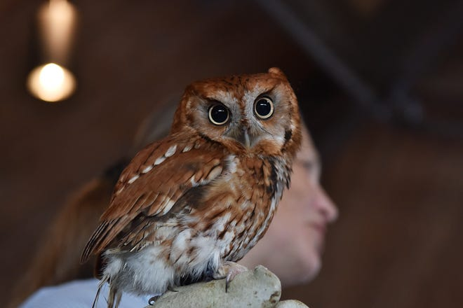 Giselle Chazotte Smisko of Avian Wildlife Center holds a screech owl at the Meadowlands Birding Festival in Lyndhurst, NJ.