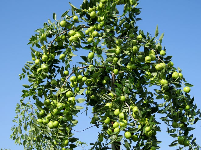 Jujube tree branch full of green fruit.