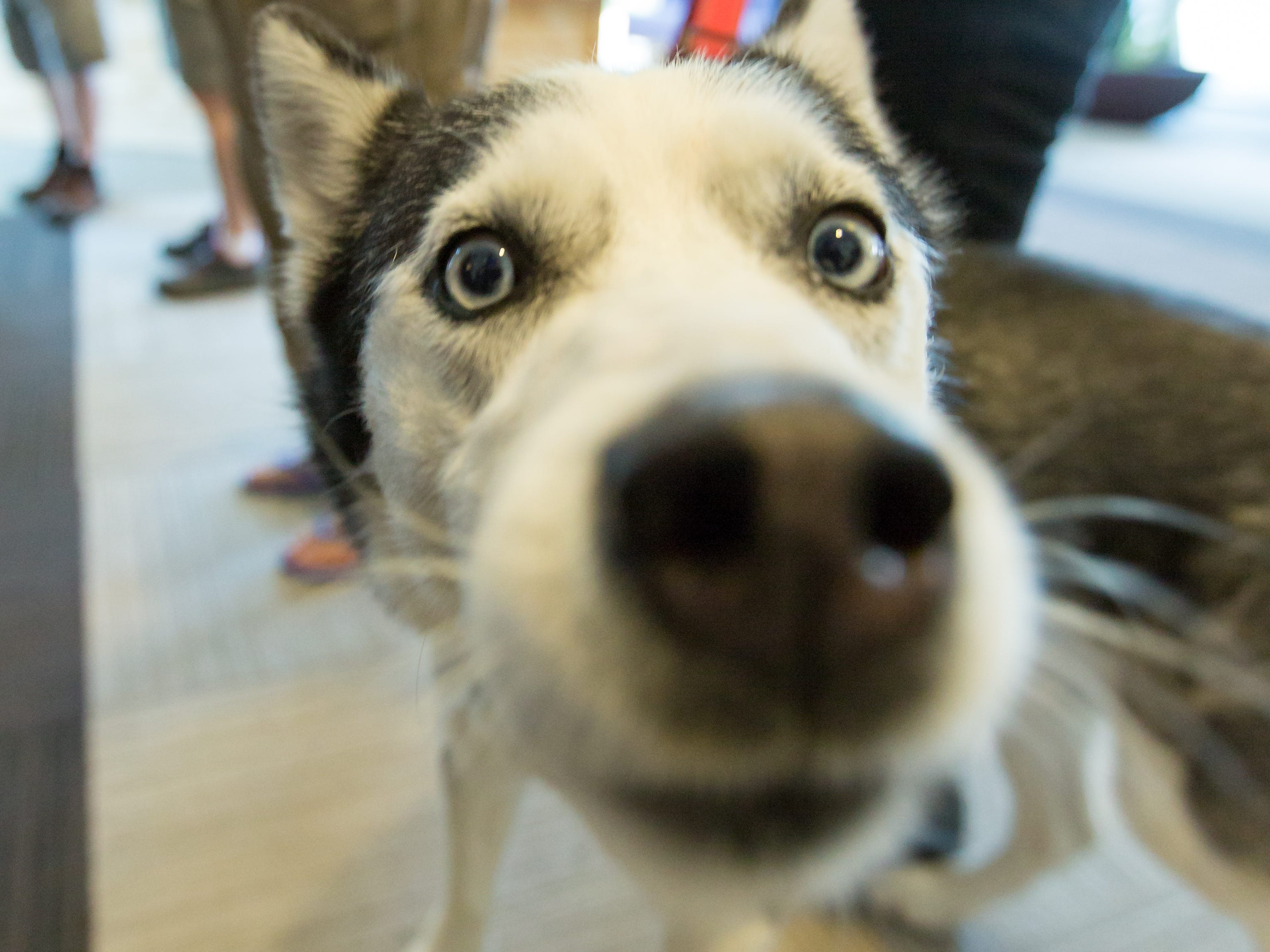 Chivs, 6, an Alaskan Husky, checks out the camera while with his owner Kellianne Taylor on Saturday, September 15, 2018, during the 2018 DogCruces Pet Expo at the Las Cruces Convention Center.