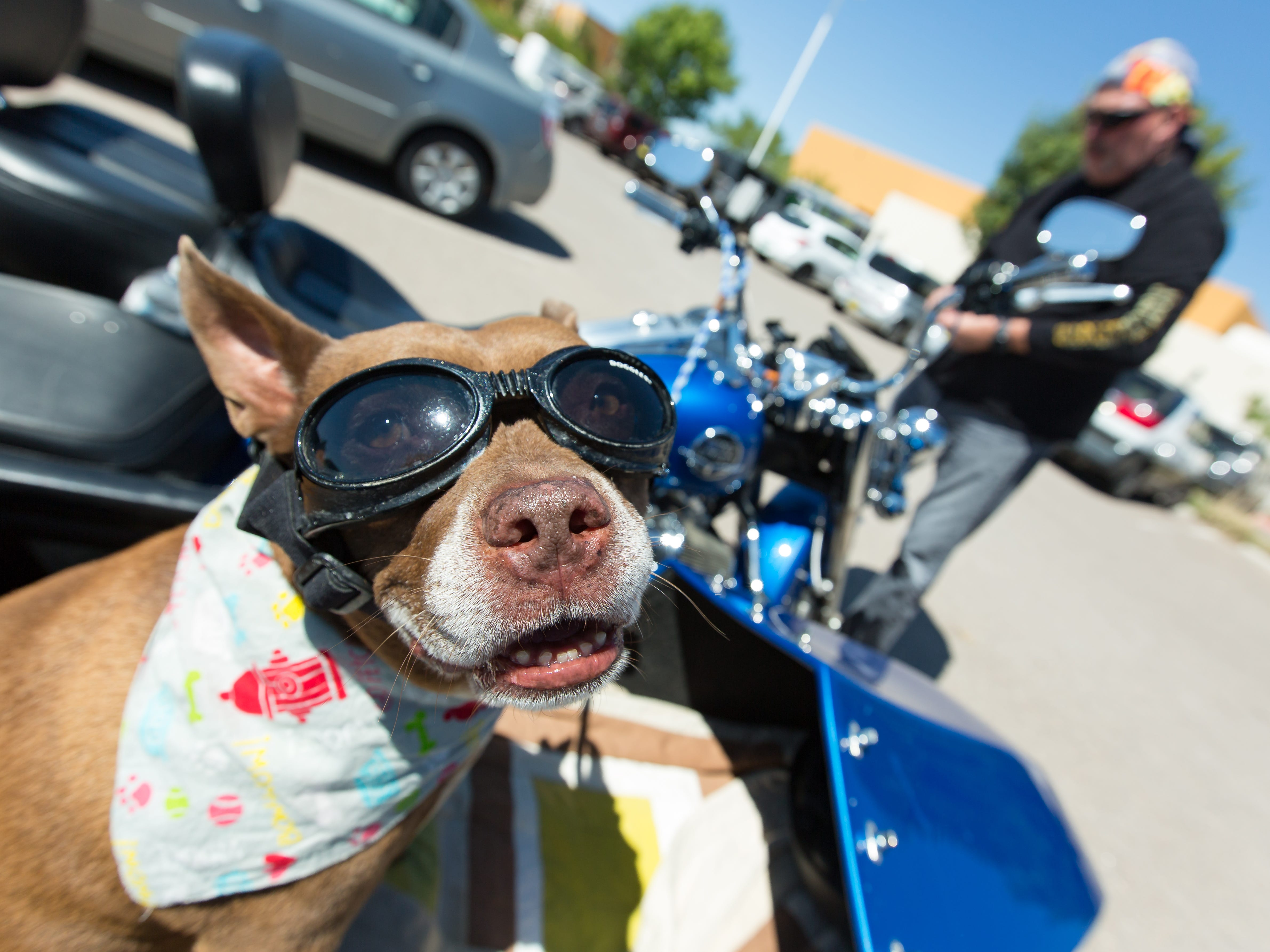 A rescue dog name Rio, wears is goggles while driving in a motorcycle with his dad Paul Driver on Saturday, September 15, 2018, during the 2018 DogCruces Pet Expo at the Las Cruces Convention Center.