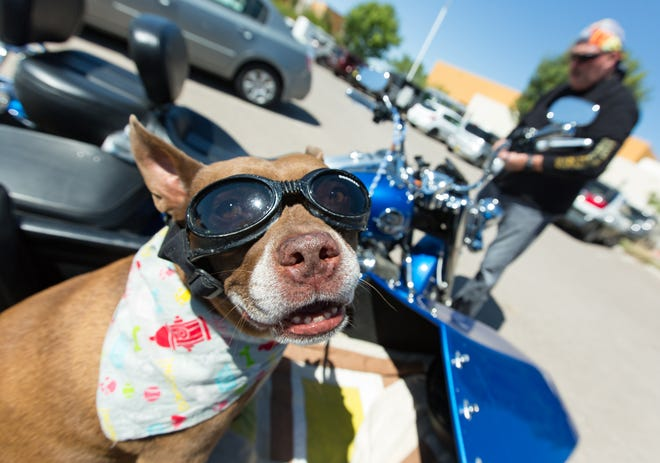 A rescue dog named Rio wears his goggles while riding in a motorcycle with his dad Paul Driver on Saturday, September 15, 2018, during the 2018 DogCruces Pet Expo at the Las Cruces Convention Center.