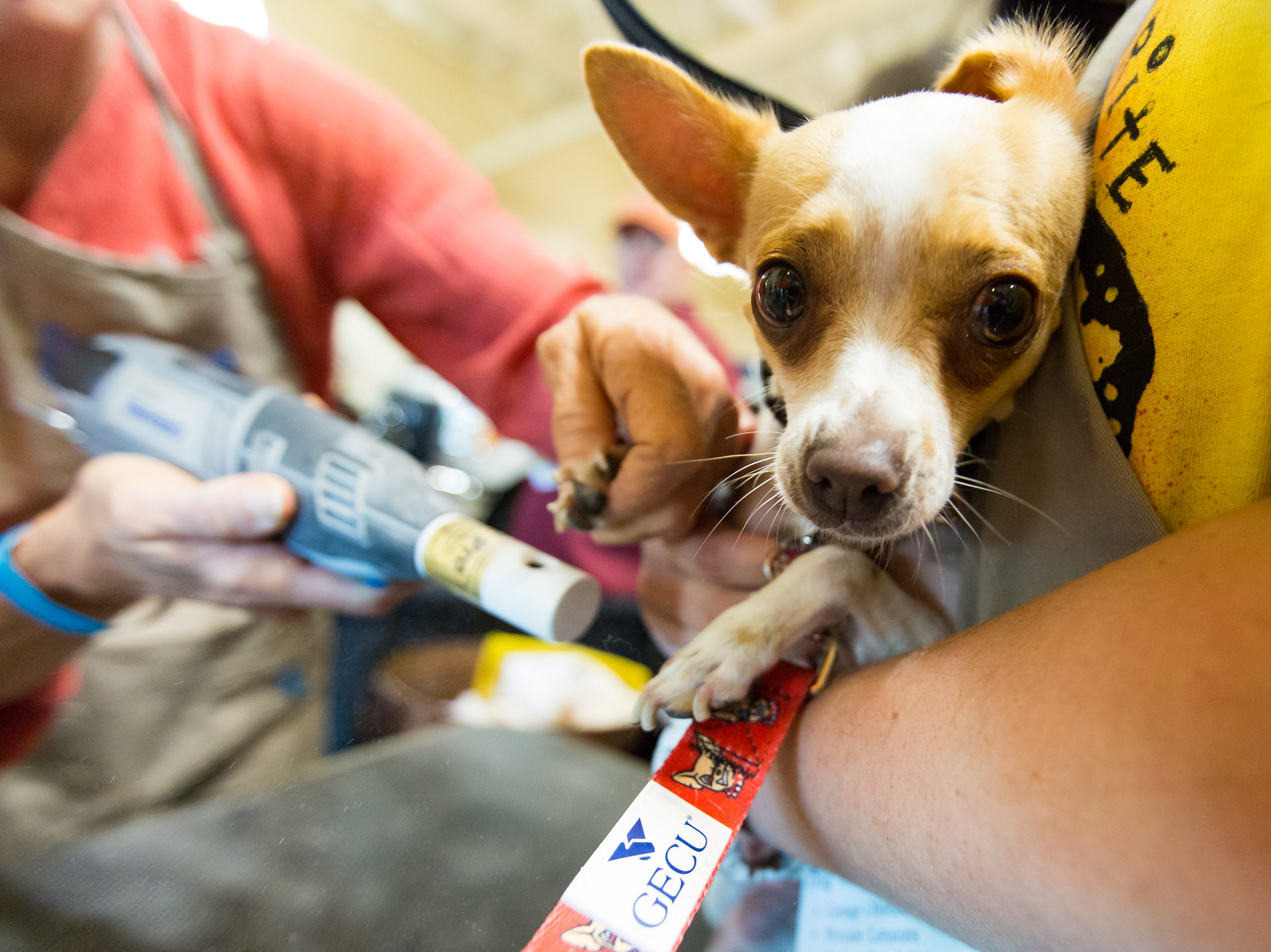 Minnie, 2, has her nails trimmed as her owner Scott Smelser, of El Paso, is near by on Saturday, September 15, 2018, during the 2018 DogCruces Pet Expo at the Las Cruces Convention Center.