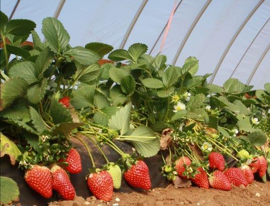 Strawberries Agrilife