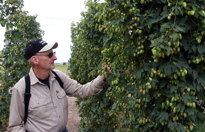 In this undated photo extension educator Gary Stone checks one of the hops plants being grown at PREC in Scottsbluff, Neb.