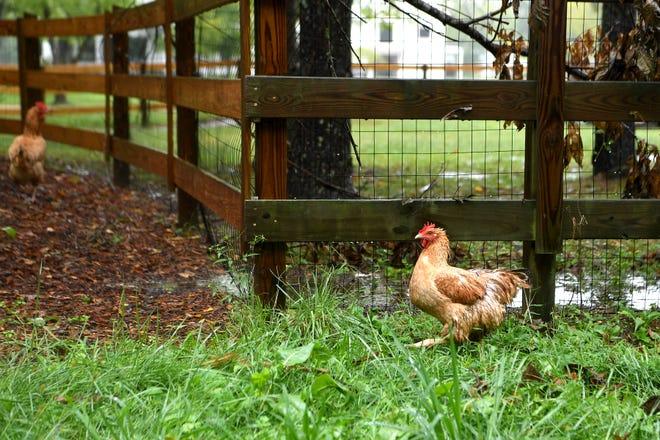 A chicken wanders in the rain in Fletcher on Sept. 16, 2018.
