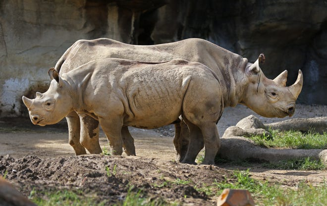 Kendi and his mom Seyia live in the Rhino Reserve at the Cincinnati Zoo and Botanical Garden. Black rhinos are critically endangered, largely due to their horns being sought after by poachers. Kendi was born last July 17, 2017 and already is over 1,000 lbs. His name means 'the loved one' in Swahili.
