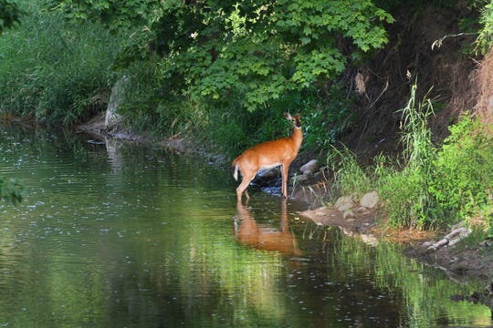 A  white-tailed deer seeks refuge from the heat in a creek in southern Clinton County.