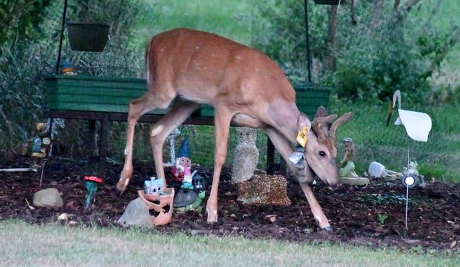 An army of garden trolls have no effect on this young buck, who was focused on apples from the tree overhead. A deer with advanced CWD would have it's ribs and hips clearly visible through the skin and would be drooling excessively with no fear of humans.