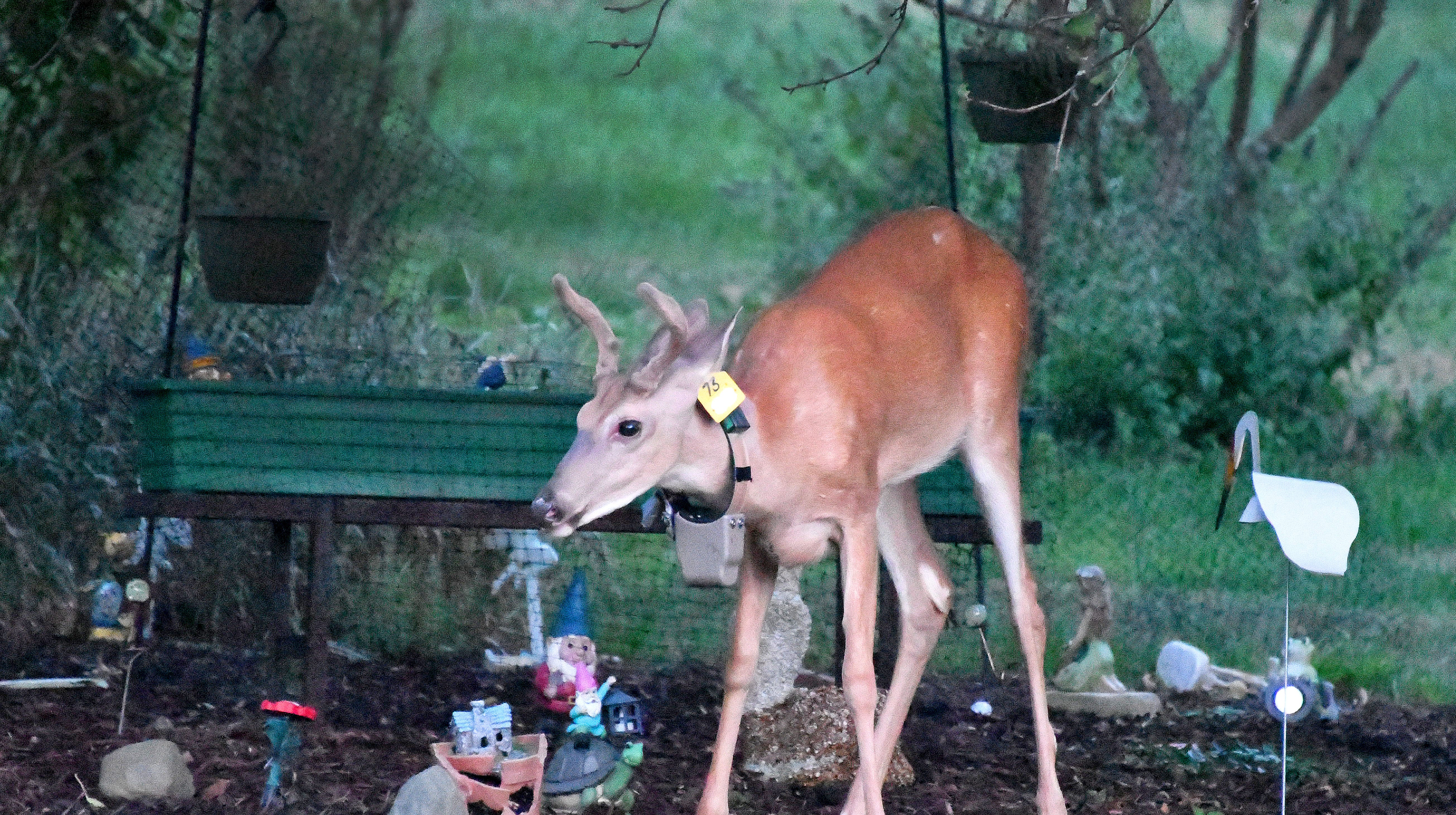 Sporting his GPS radio collar, this young white tailed deer trapises through a collection of garden trolls and other statuary in an Okemos, MI back yard, on Monday, July 30, 2018, not far from where the first case of Chronic Wasting Disease in the wild was discovered in Michigan.  Using GPS collars and other high-tech equipment, MSU researchers are helping the Michigan DNR in their efforts to combat Chronic Wasting Disease (CWD.)