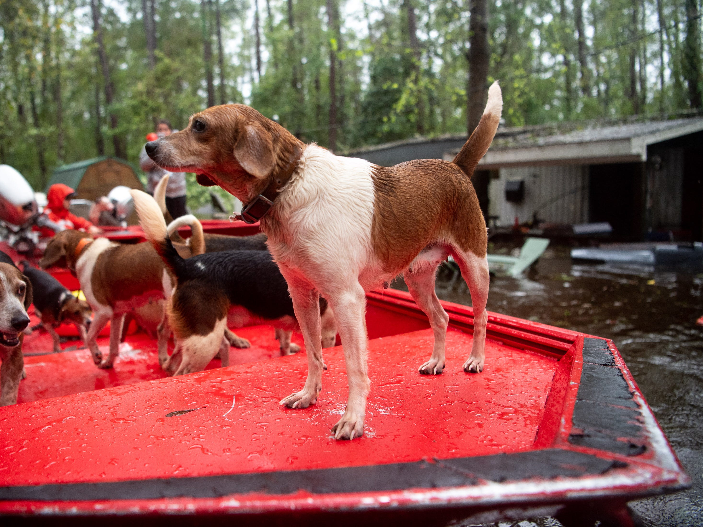 A beagle, one of ten rescue from a flooded home, takes his spot on a Coast Guard boat in Columbus County, N.C., Sunday, Sept. 16, 2018.