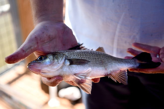 The Hackensack Riverkeeper and the Hudson River Fishermen's Association hosted a free catch and release fishing derby at Laurel Hill Park on Sunday, September 16, 2018. A perch fish waits to be released after being measured.
