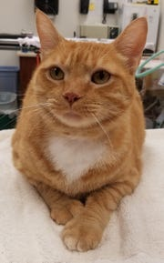 Dakota is a 6-year-old, front-declawed orange boy. He came into the shelter as an owner surrender, and is now looking for a second chance. Look at that pose! This is one personable cat! Dakota will make someone an awesome friend.
