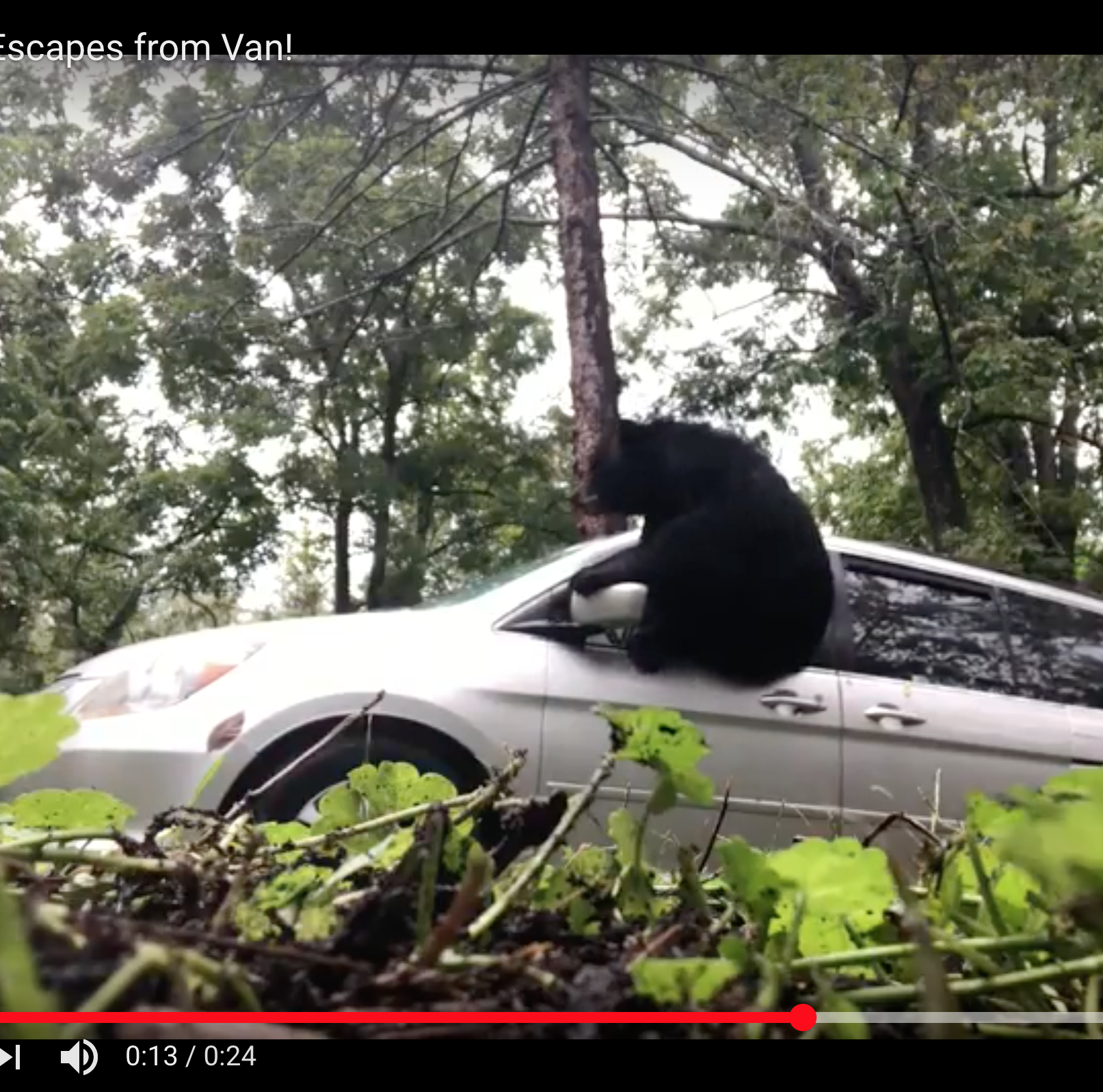 Bear trapped in van breaks out window, enters kitchen, eats muffin mix, skedaddles
