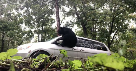 Bear escapes North Asheville van