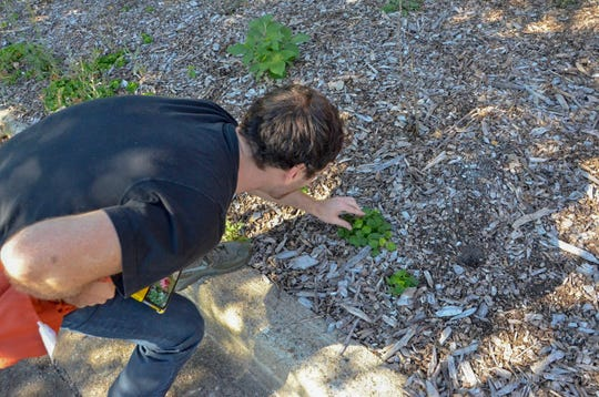 Ian Dandenault, owner of Alternative Roots Health, Acupuncture & Herbal Medicine, goes foraging in his free time.