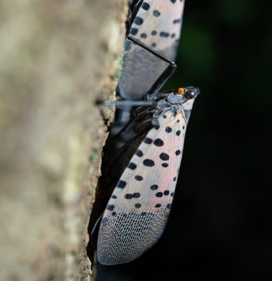 Adult Spotted Lanternfly On Tree Berks County Pennsylvania