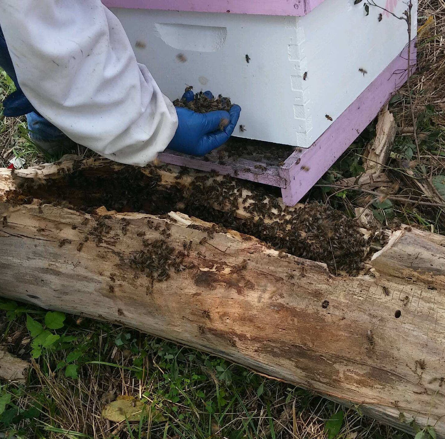 Northern Kentucky beekeeper Pete Montoure rescues...