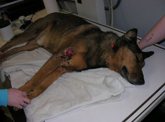 Sammy, the dog in the Autumn Steele shooting, was wounded in the Jan. 6, 2015, incident. The dog survived. He is seen here getting treatment.