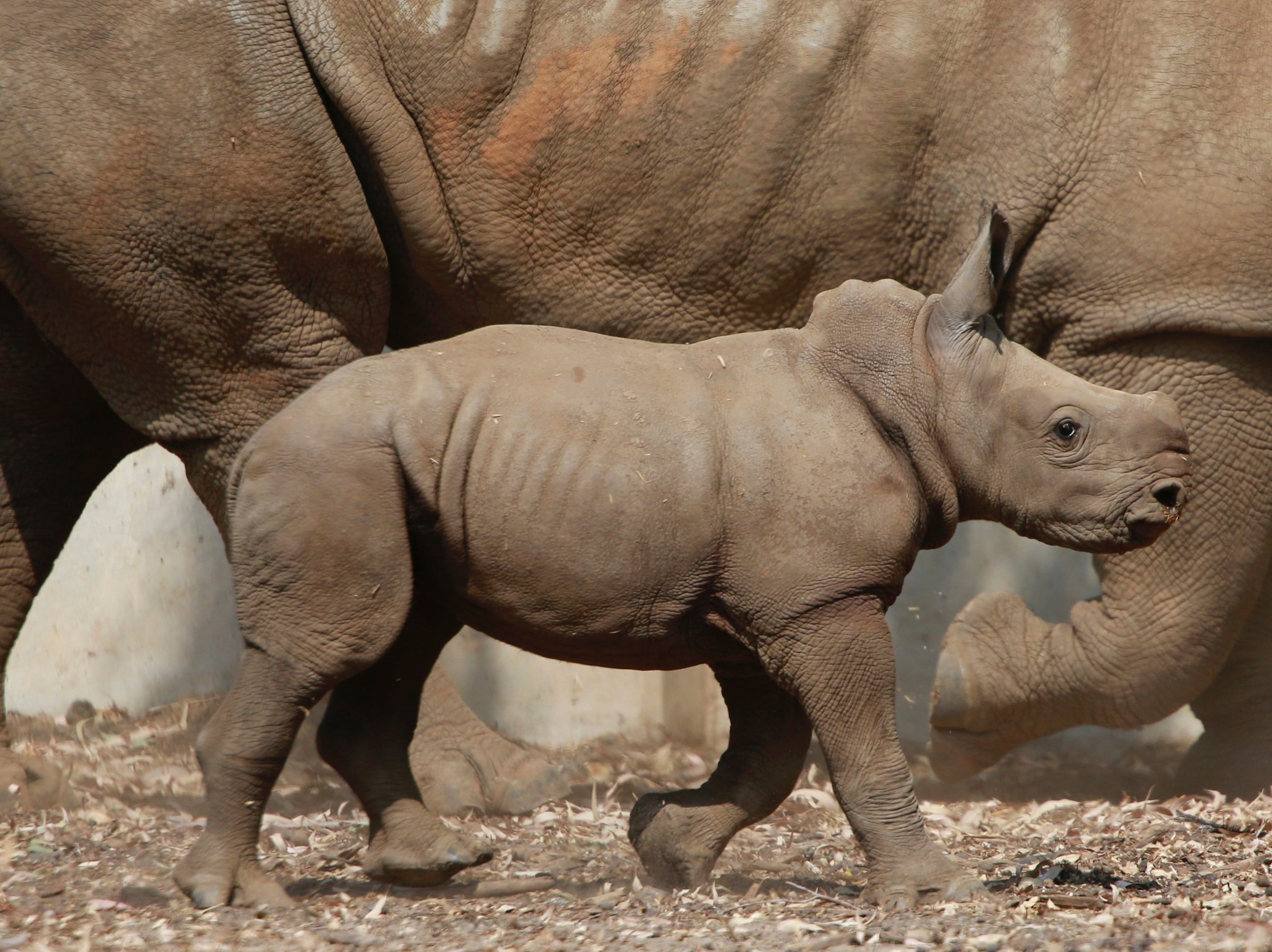 A three week old baby female rhino walks in the Ramat Gan Safari Park near Tel Aviv, Israel, Monday, Sept. 17, 2018. The center's spokeswoman Sagit Horowitz said it is the 30th birth of a rhinoceros in the Safari park.