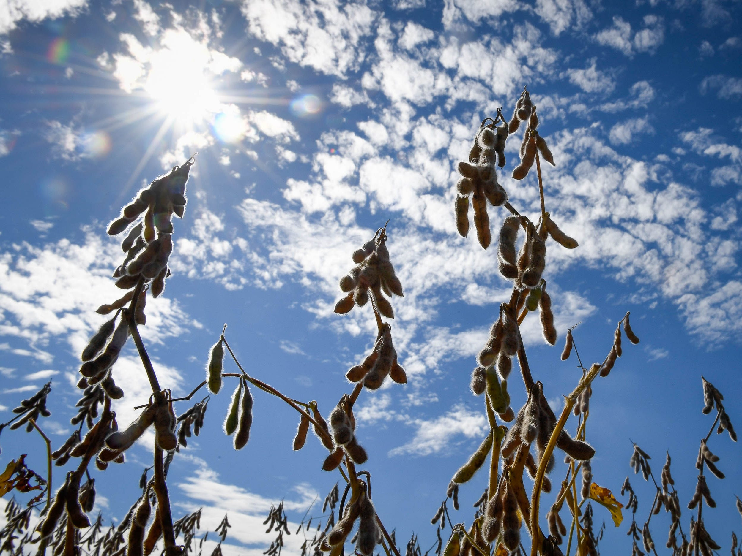 Ready for harvest, soybeans drying under the sun in a field along Bayou Creek Road in Evansville Monday, September 17, 2018.