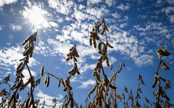 Ready for harvest, soybeans drying under the sun in a field along Bayou Creek Road this week. Abundant sunshine, light winds and smoke from Canadian fires could cause ozone pollution to reach unhealthy levels Wednesday.