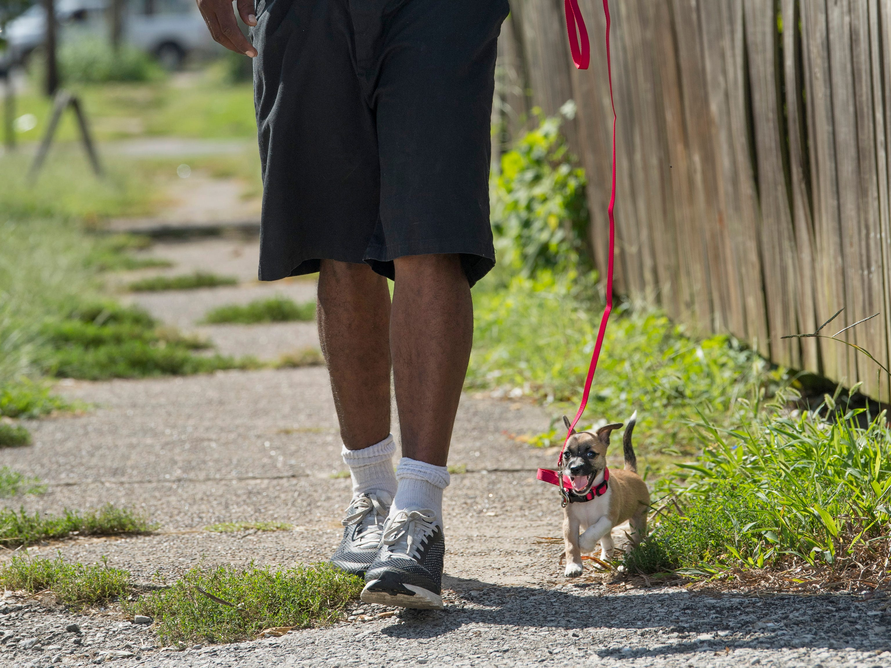 """Brandon Pipper of Evansville walks his yet-to-be-named Chihuahua puppy out for a stroll using a leash for the first time Monday morning. Pipper got the puppy Sunday as a surprise gift for his kids. """"She's spoiled,"""" he said. """"The kids are gonna love her."""""""