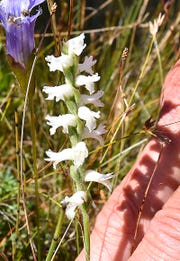 The delicate white bloom of a late summer nodding ladies' tresses orchid at The Ridges Sanctuary in Baileys Harbor.