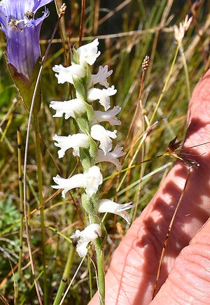 The delicate white bloom of a late summer Nodding Ladies Tresses Orchid at The Ridges Sanctuary in Baileys Harbor.