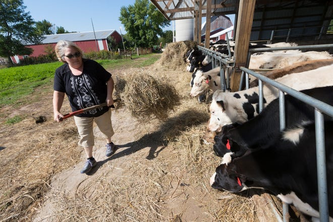 Karen Cihlar feeds heifers Sept. 13 on her family's farm near Algoma. Cihlar created a GoFundMe page to raise money to save the farm that has been in her husband's family for four generations. The combination of depressed milk prices and being forced to build a 300,000 gallon manure storage pit forced the drastic action.