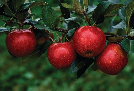 Mn 1914 Apple