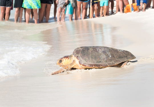 A Loggerhead sea turtle named Kara makes its way into the surf at Park West in Pensacola Beach as the Gulfarium releases four turtles on Monday, September 17, 2018.