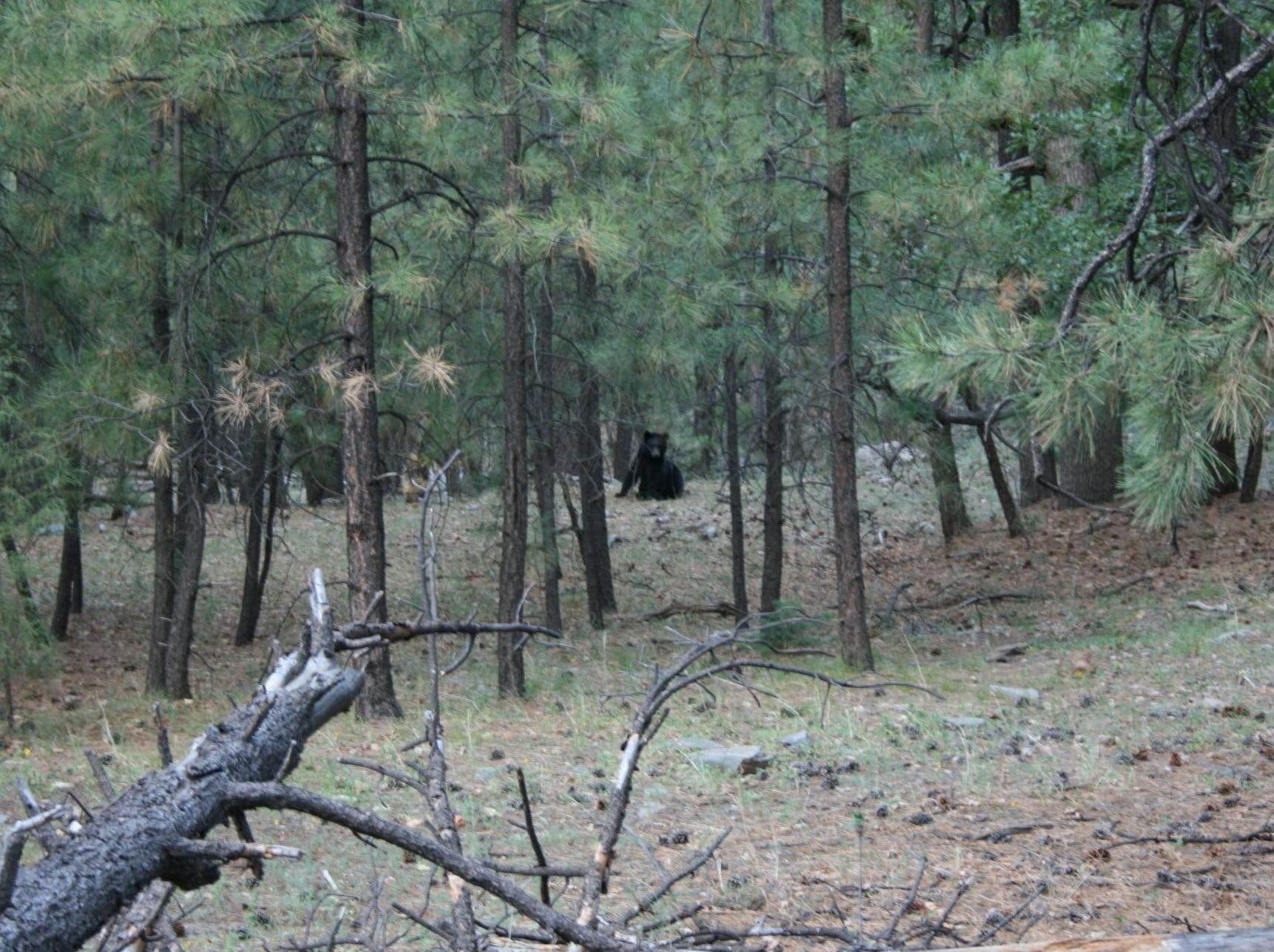 A black bear watches the burnout operation on Rattlesnake Mesa.