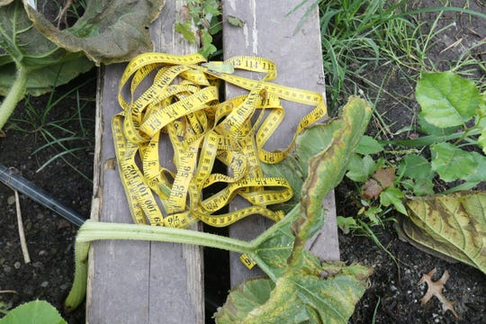 A measuring tape used to measure the giant pumpkins Tony Scott has grown in his garden in Wappingers Falls on September 17, 2018.