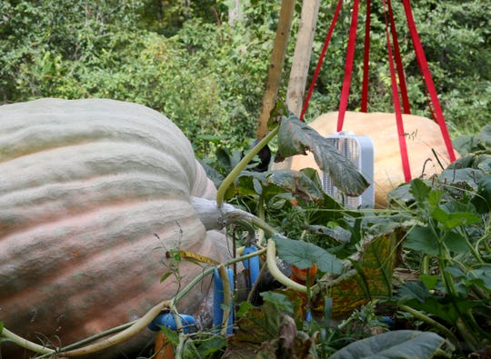Giant pumpkins grown by Tony Scott at his home in Wappingers Falls on September 17, 2018.