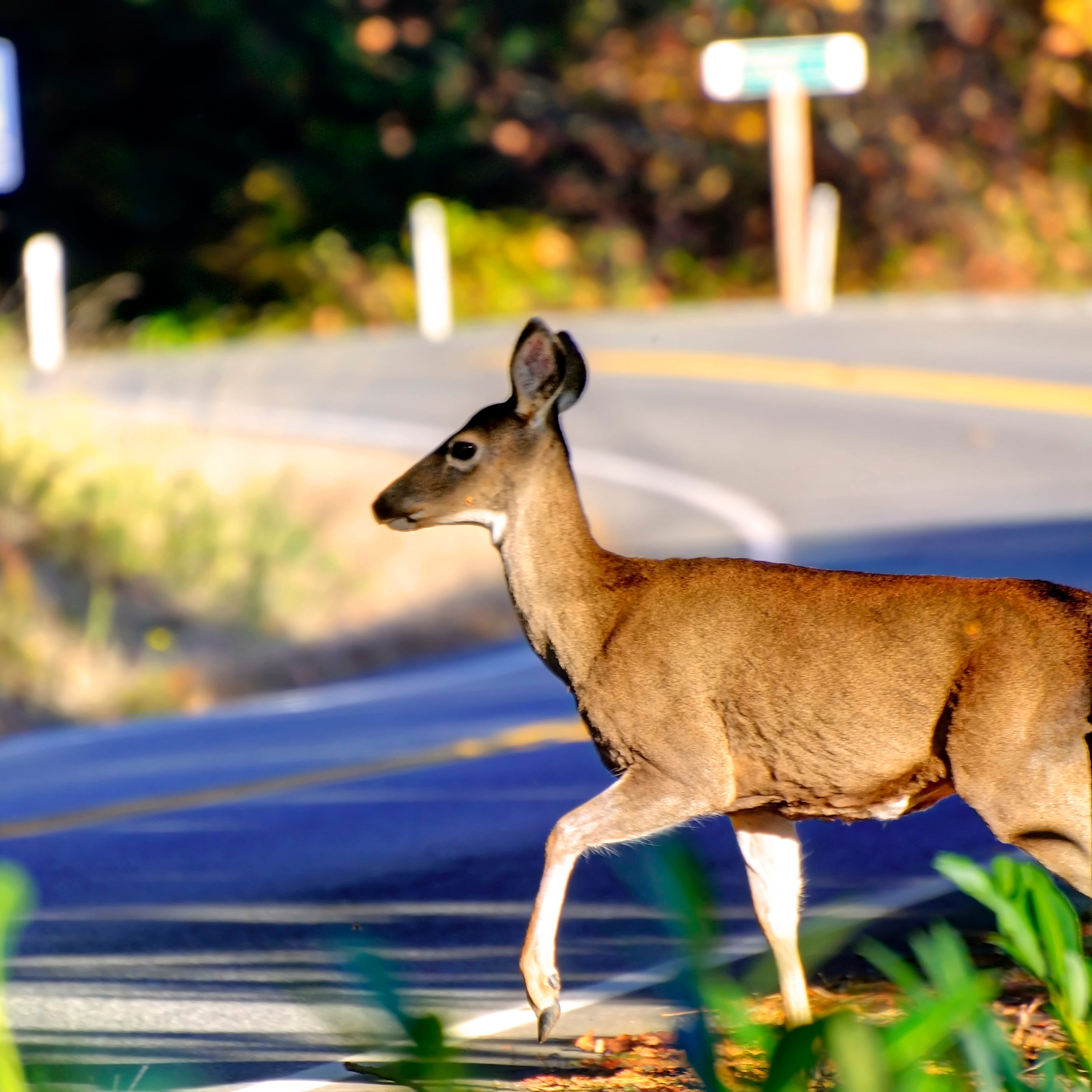 Study: Rochester No. 1 upstate for car-deer collisions