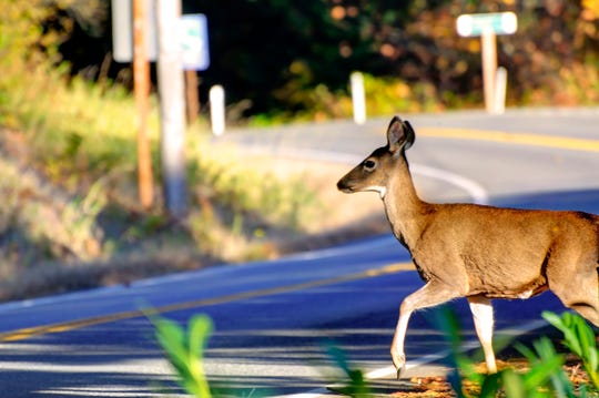 Deer crossing the road.