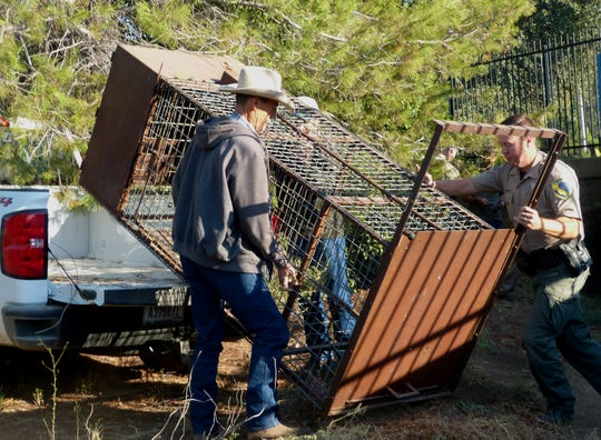 A bear cage is unloaded from a pickup so it can be used to try to capture the elusive bear.