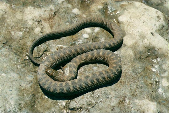 The Concho Watersnake is a unique treasure of the Concho Valley.