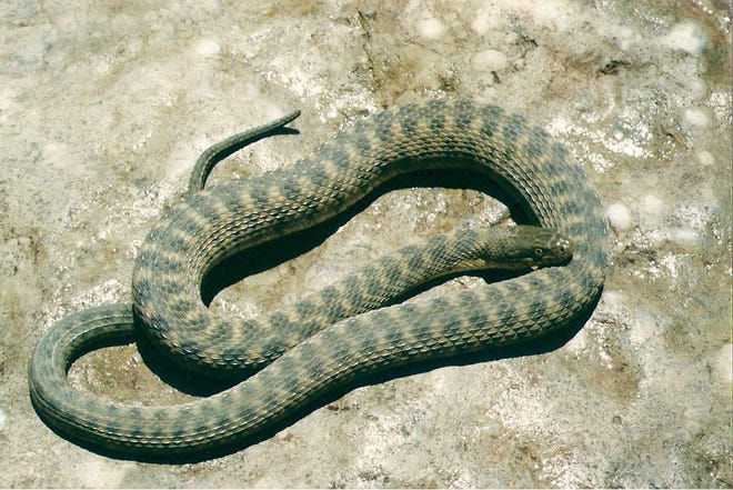The Concho Watersnake has one of the most narrow distributions of any watersnake.