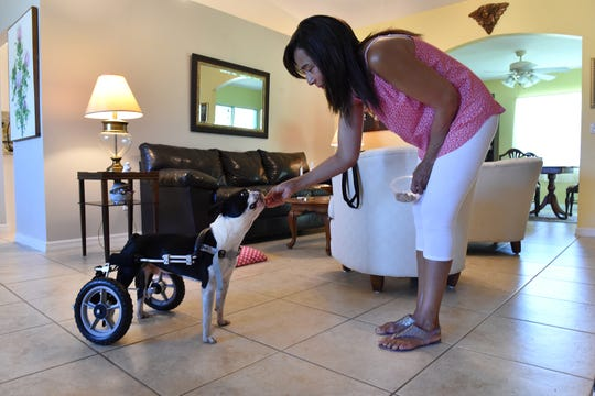 """Sylvia Oransky, a volunteer pet fosterer for H.A.L.O. No-Kill Rescue, has been caring for Elvis for the past month at her home in Sebastian. Elvis, a four-year-old Boston Terrier, has difficulty walking and relies on a rear wheel cart or a sling to get around. """"Elvis was a challenge, because he was very angry, he was very afraid, but he came around because he knows when there's love he knows he is safe, and I think that's what got him on his feet,"""" Oransky said. """"(It's) very rewarding, because you actually go through a journey with them from the beginning, and see improvements, and if you don't see improvements then you work to do the best you can for them. Just to get them to a level where they are happier and they're loved, It's all worth it."""""""