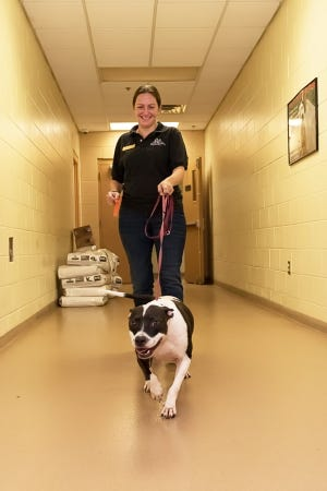 Charley, escorted by HSTC Director of Operations Candice Veach, is eager to check out his new digs.