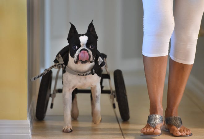 """Elvis, a four-year-old Boston Terrier, finishes off a treat while walking Sunday, Sept. 16, 2018, with Sylvia Oransky, his volunteer foster parent from H.A.L.O. No-Kill Rescue in Sebastian. """"It's important, because if you look at these (TV) commercials and you know these stories about the horrible treatment a lot of these animals go through, you feel like you're being a part of doing the right thing, and you're helping not only shelters but your community, plus another life,"""" Oransky said. """"Although it's a dog, a cat, whatever type, a bird, it's still important, it's a life, and that's what the world should be about, helping each other."""""""