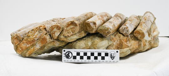 A sea cow fossil recovered from Santa Rosa Island is now being studied at the Santa Barbara Museum of Natural History.