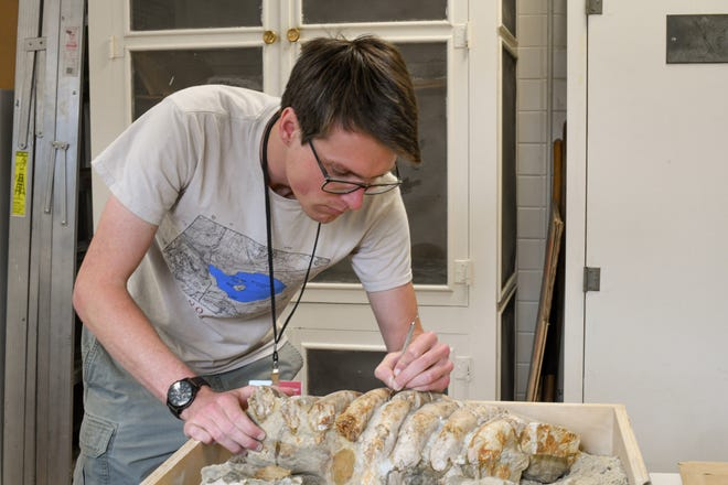 Chris Everett, a volunteer preparator, works on the ribs of the sea cow fossil.